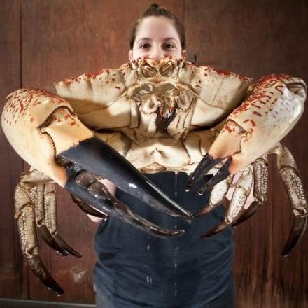 Австралийский рыбак поймал огромнейшего краба